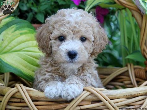 bichpoo puppies dawson poo puppy for sale from palmyra pa we re getting a