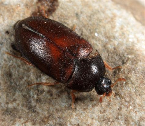 black carpet beetle attagenus bugguide net