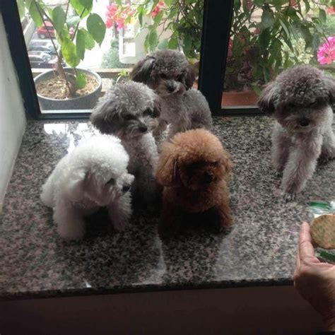 average poodle lifespan average size of teacup poodle dogs in our photo