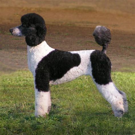 parti colored poodle parti colored poodle parti standard poodle www imgkid