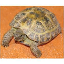 russian tortoises russian tortoise for sale petsolutions