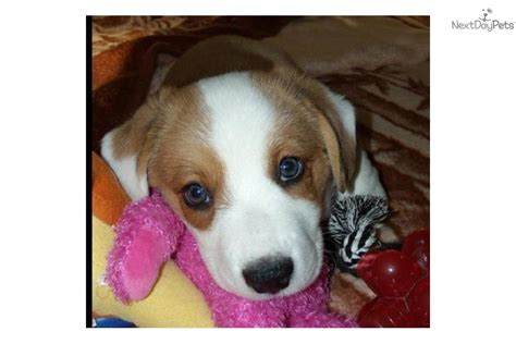 corgi puppies for sale san antonio corgi cardigan puppy for sale near san antonio 7960e8ff 2e81