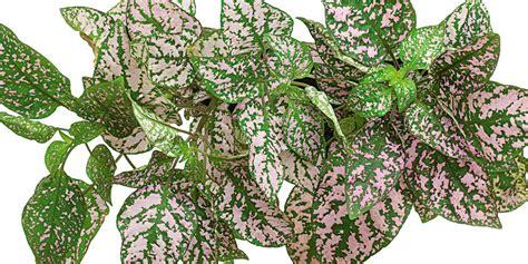 piante decorative da interno moltiplicare per talea di foglia le piante da interni