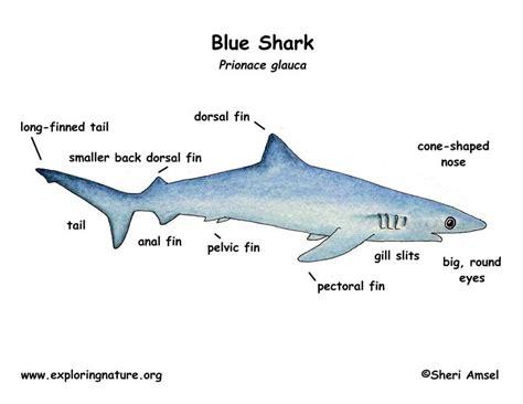shark blue