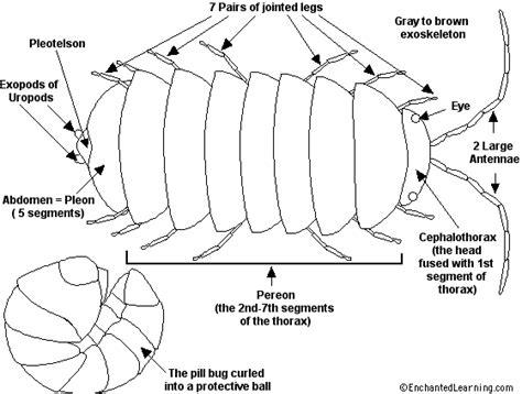 pillbug diagram pill bug printout enchantedlearning