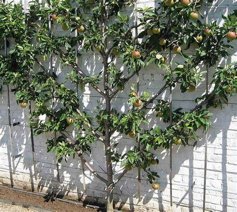 espaliered fan fruit tree fruit tree espaliers cordons stepovers