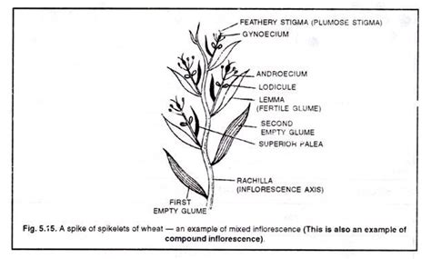 types of inflorescence explained with diagram