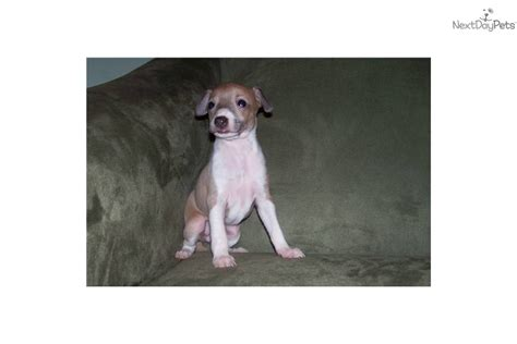 italian greyhound puppies florida italian greyhound puppies for sale florida breeds picture