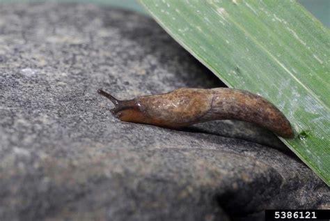 Garden Slug by Gray Garden Slug Deroceras Reticulatum Pulmonata Agriolimacidae 5386121