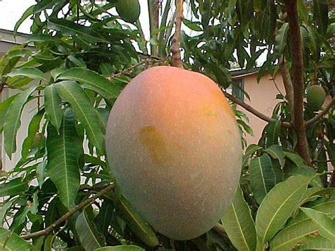mango tree with fruits fruit warehouse mango