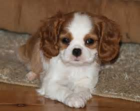 blenheim color cavalier king charles spaniel puppies color colour blenheim