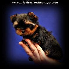 michigan yorkie breeders priceless yorkie puppy michigan breeder specializing in teacup yorkie puppies for sale