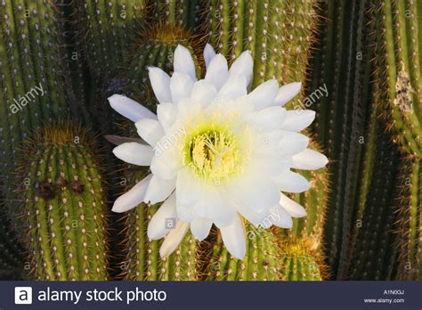 night blooming cactus this cactus blooms at night and the