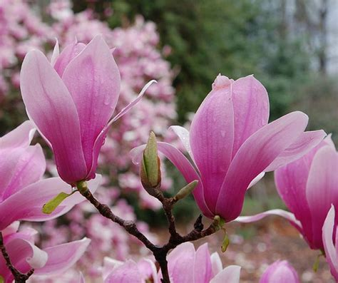 pink flowering trees a gallery on flickr