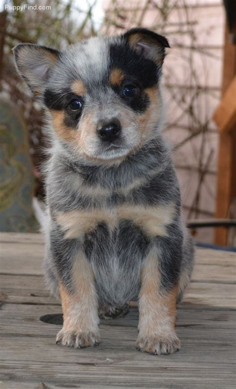 blue tick heeler puppies 25 best cattle dogs ideas on adorable animals