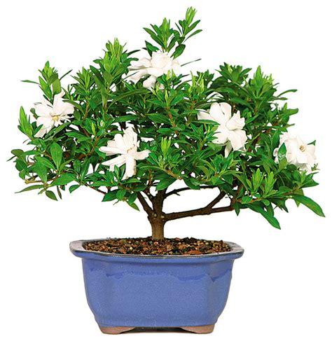 gardenia bonsai tree asian plants  brussels bonsai