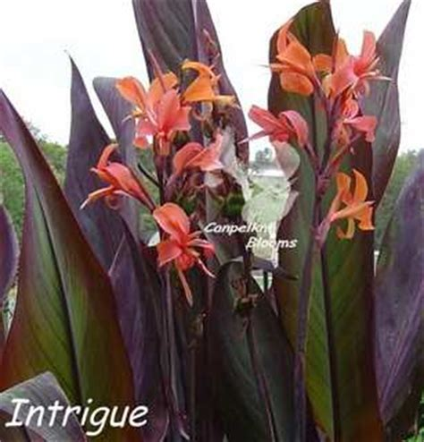 unusual canna intrigue grown  foliage plants  colored leaves