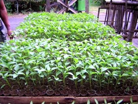 Bibit Tanaman Cabe cara menanam cabe dengan baik putrarawit
