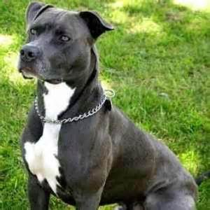 american pitbull terrier colors american pit bull terrier the of animals