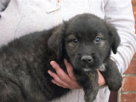 newfoundland mix puppies newfoundland mix with german shepherd image breeds picture