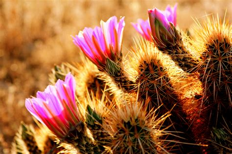 desert flower desert flowers flickr photo sharing