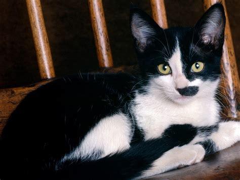 cat wallpaper for mac 1024 215 768 cute black and white cat desktop pc and mac