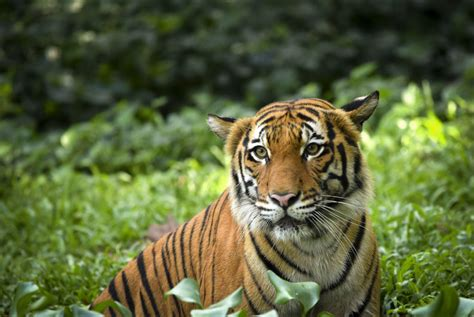 of tiger 3 890 what the new global tiger number means wwf tigers