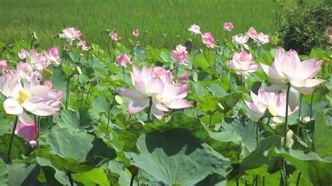 lotus flower in amazing lotus flowers in field