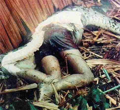 gambar ular terbesar  dunia makan manusia