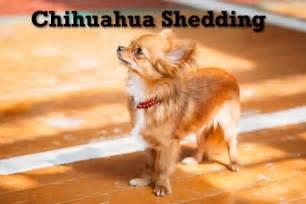 dealing with a shedding chihuahua