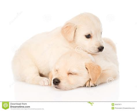 puppy on two tiny golden retriever puppy on white background stock photo image 55537671
