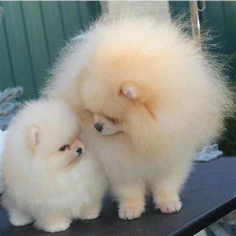 how big will my pomeranian get 25 best ideas about baby pomeranian on teacup pomeranian puppy fluffy