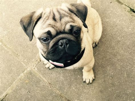 pug puppies for adoption in kc pedigree pug puppy for sale adoption leeds west pets4homes