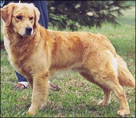 how much should my golden retriever weigh golden retriever weigh photo