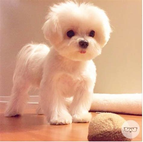 maltese terrier mix hair cuts 189 best maltese cuts images on pinterest