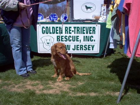 golden retriever rescue nj golden retriever rescue inc nj newsletter 2005happy news breeds picture