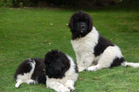 best newfoundland breeders landseer newfoundland puppies for sale puppies for sale