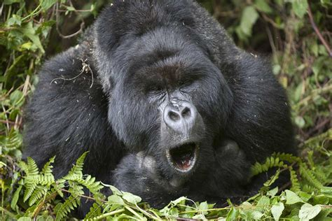 Gorillas hum and sing while they eat | 2012 The Awakening