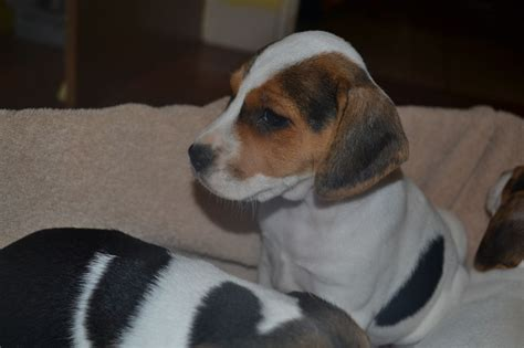 jackabee puppies for sale jackabee puppies llanfairpwllgwyngyll isle of anglesey pets4homes