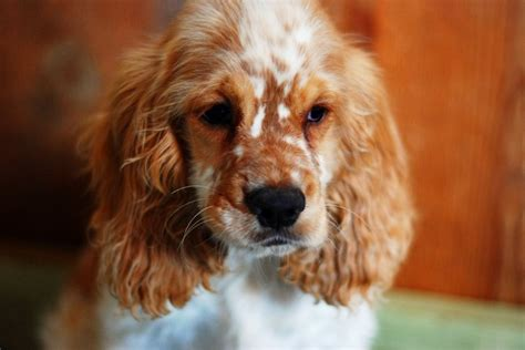 184 best images about cocker spaniel on