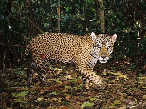 Photos from Camera Traps in the Amazon | Projects | WWF