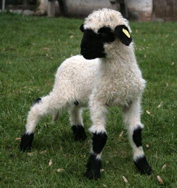 imagenes de ovejas negras las ovejas cafe y leche de valais taringa