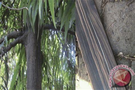 Bibit Eboni dishut sulteng tanam 50 000 pohon eboni antara news palu