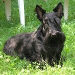 Do Scottish Terriers Shed by Scottish Terrier Facts Pictures Price And