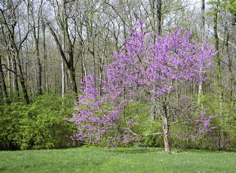 american redbud photograph by phyllis taylor