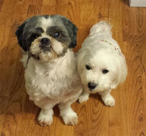 ct rescue lhasa apso shih tzu mix for adoption to loving home middletown ct adopt teggie