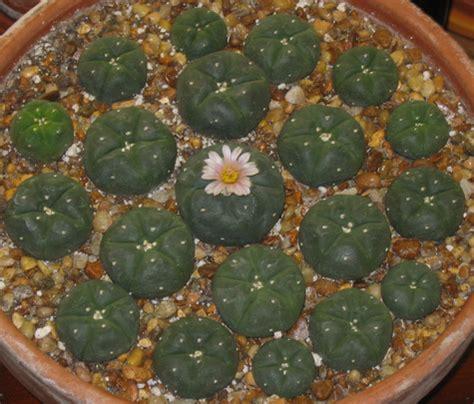 grow l for how do you grow a cactus wehelpcheapessaydownload web