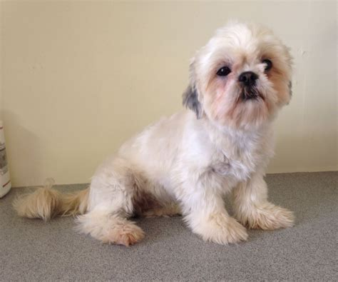 shih tzu blue shih tzu pet home only dorchester dorset pets4homes