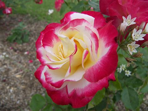 rosas taringa de colores fotos de rosa pictures to pin on pinterest page