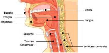 anatomie atlas du humain bouche et oesophage